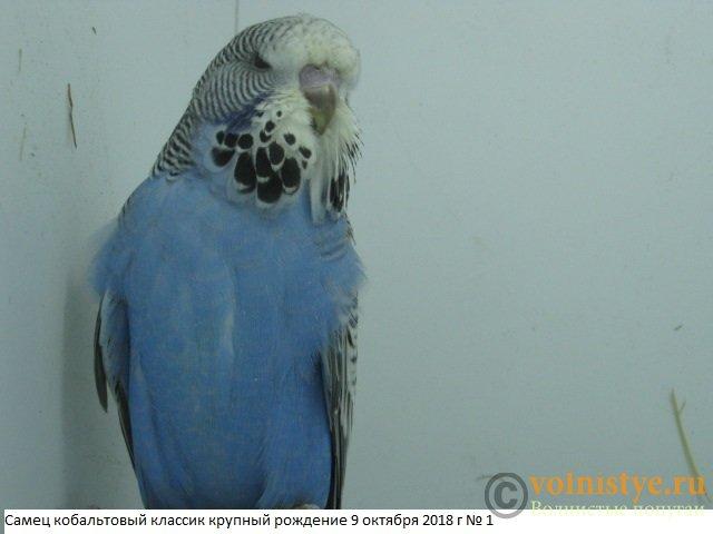 Волнистые попугаи выставочного типа молодежь Москва - IMG_1835.JPG