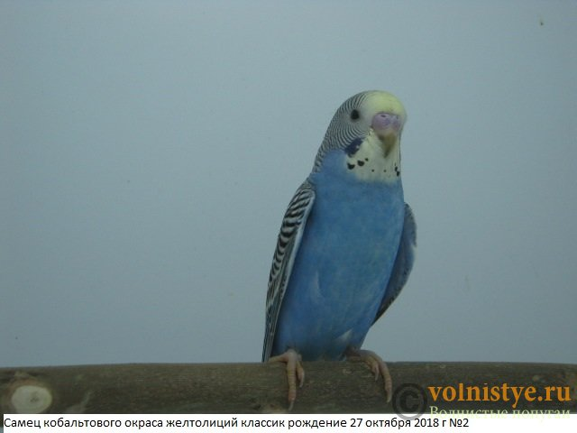 Волнистые молоденькие попугайчики для разговора - IMG_1894.JPG