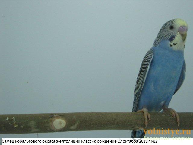 Волнистые молоденькие попугайчики для разговора - IMG_1893.JPG
