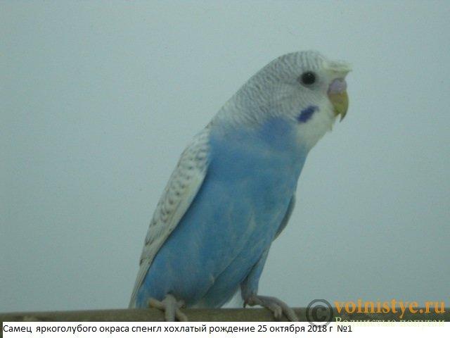 Волнистые молоденькие попугайчики для разговора - IMG_1883.JPG
