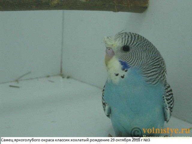 Волнистые молоденькие попугайчики для разговора - IMG_1899.JPG