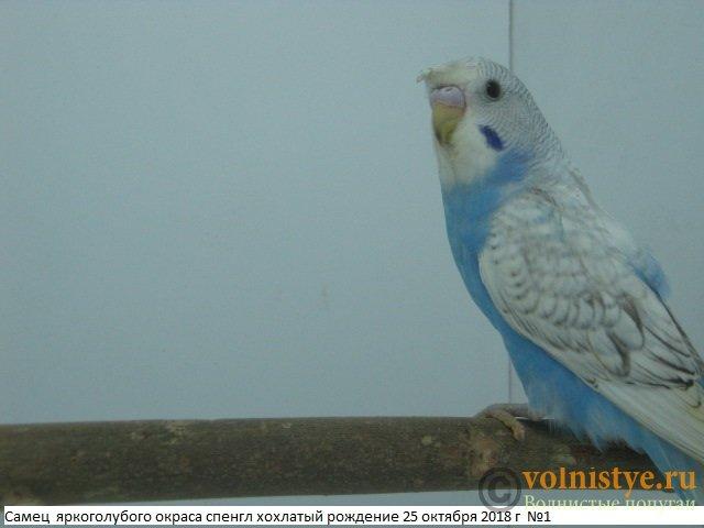 Волнистые молоденькие попугайчики для разговора - IMG_1882.JPG