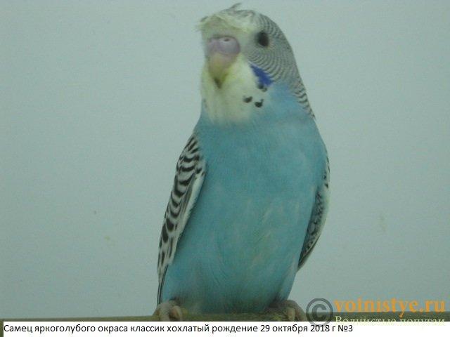 Волнистые молоденькие попугайчики для разговора - IMG_1902.JPG