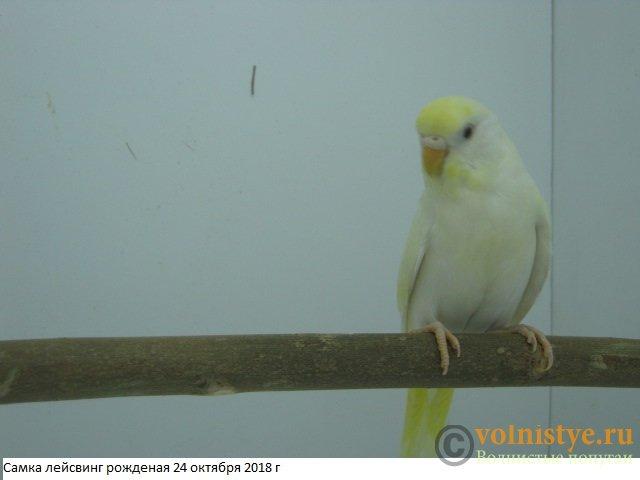 Волнистые молоденькие попугайчики для разговора - IMG_2067.JPG