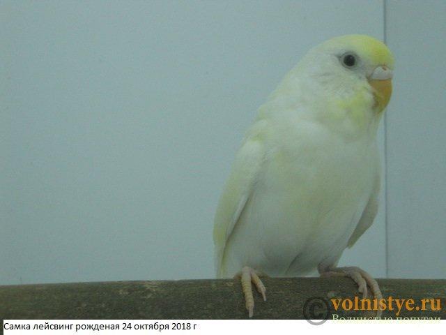 Волнистые молоденькие попугайчики для разговора - IMG_2075.JPG