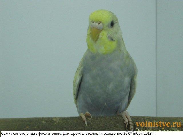 Волнистые молоденькие попугайчики для разговора - IMG_2083.JPG