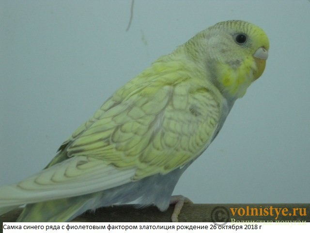 Волнистые молоденькие попугайчики для разговора - IMG_2087.JPG