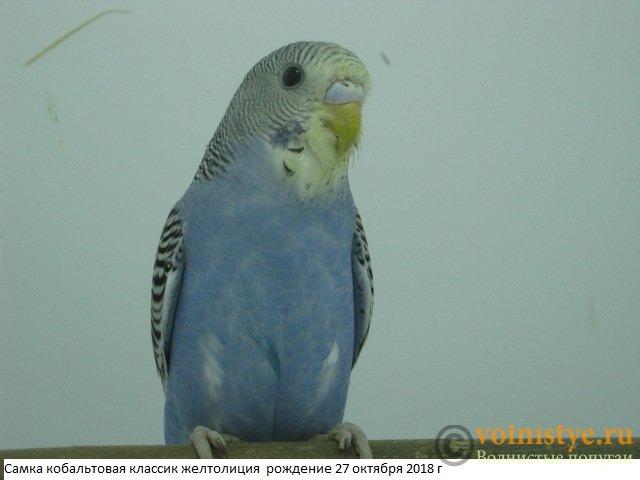 Волнистые молоденькие попугайчики для разговора - IMG_2097.JPG