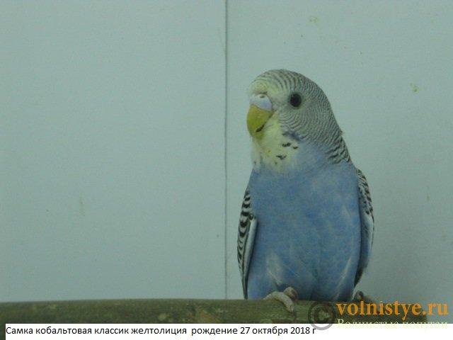 Волнистые молоденькие попугайчики для разговора - IMG_2101.JPG