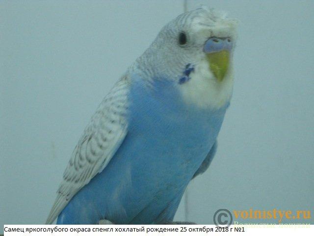 Волнистые молоденькие попугайчики для разговора - IMG_2112.JPG