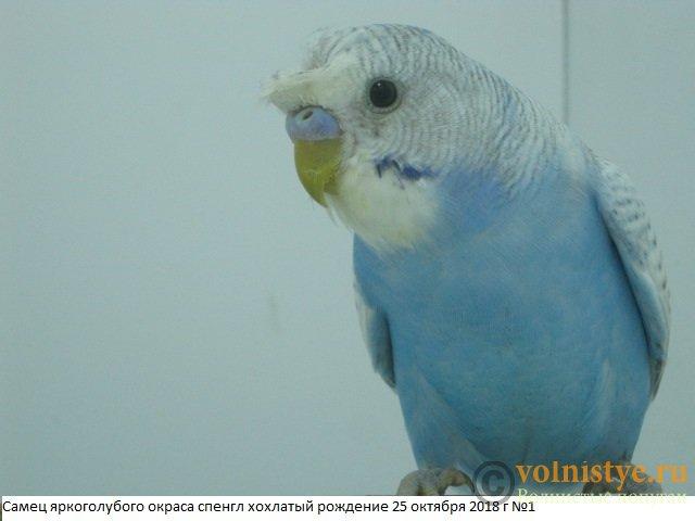 Волнистые молоденькие попугайчики для разговора - IMG_2114.JPG