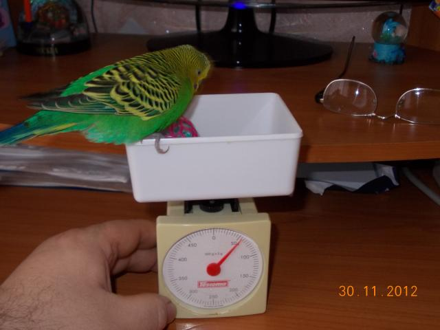 Волнистый попугай на весах - Тишик.JPG