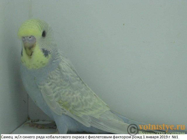 Волнистые молоденькие попугайчики для разговора - IMG_2244.JPG