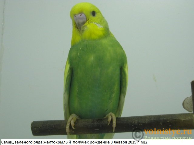 Волнистые молоденькие попугайчики для разговора - IMG_2253.JPG