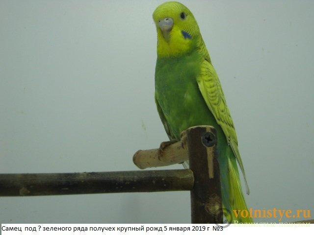 Волнистые молоденькие попугайчики для разговора - IMG_2295.JPG