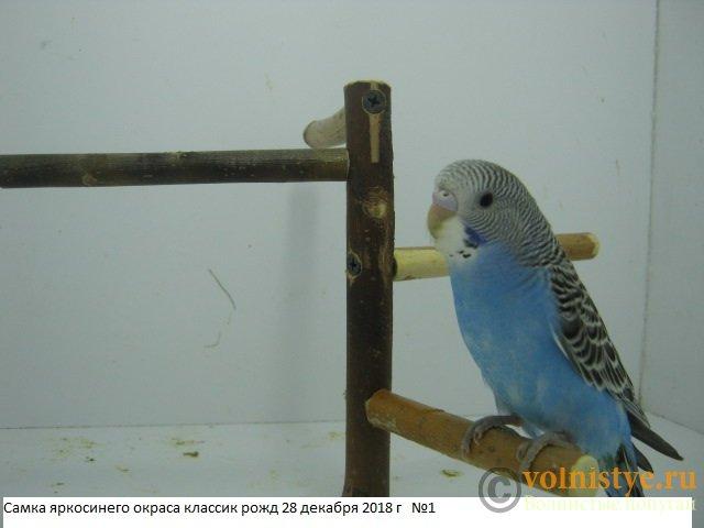 Волнистые молоденькие попугайчики для разговора - IMG_2281.JPG