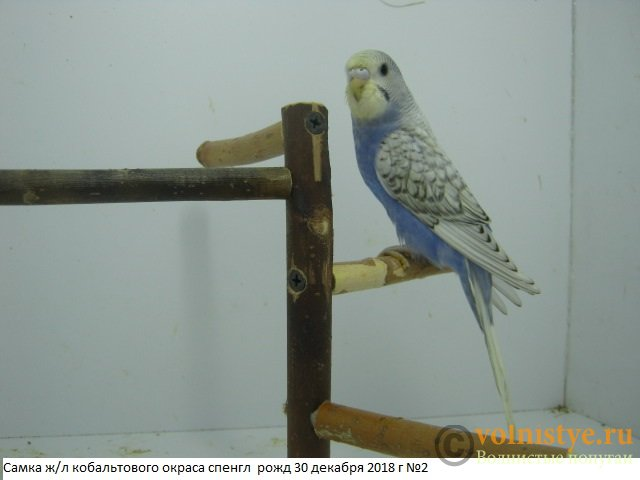 Волнистые молоденькие попугайчики для разговора - IMG_2284.JPG
