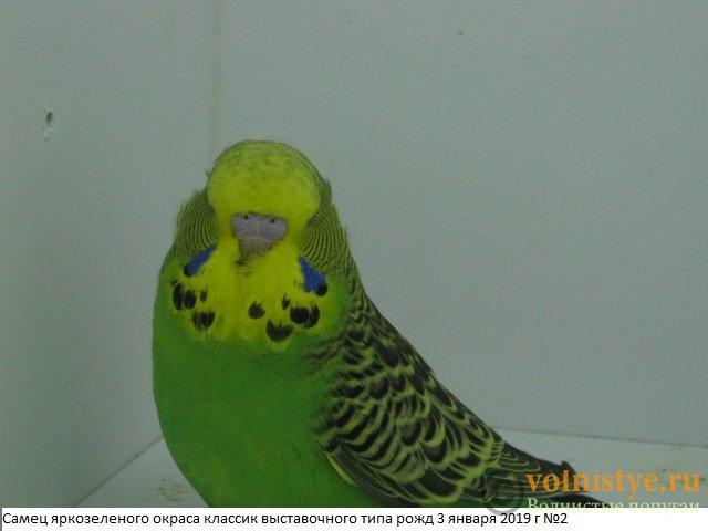 Волнистые попугаи выставочного типа молодежь Москва - IMG_2273.JPG