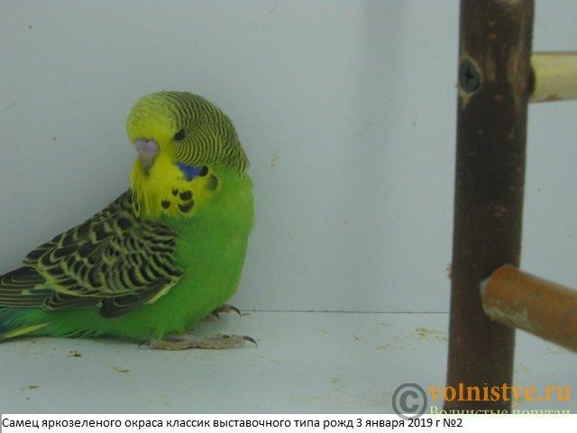 Волнистые попугаи выставочного типа молодежь Москва - IMG_2276.JPG