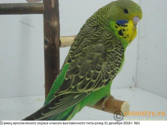 Волнистые попугаи выставочного типа молодежь Москва - IMG_2264.JPG