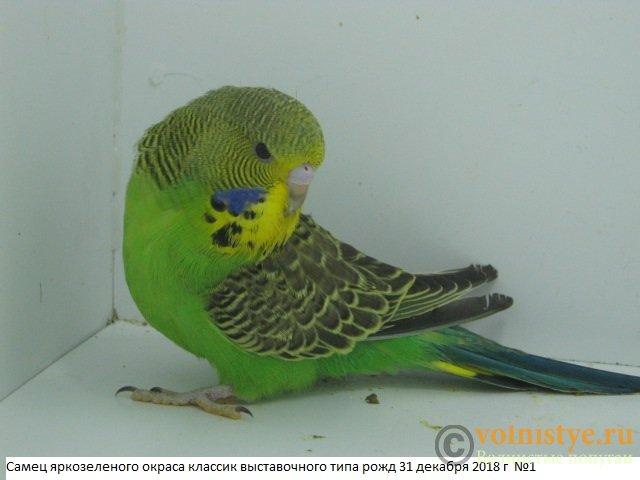 Волнистые попугаи выставочного типа молодежь Москва - IMG_2258.JPG