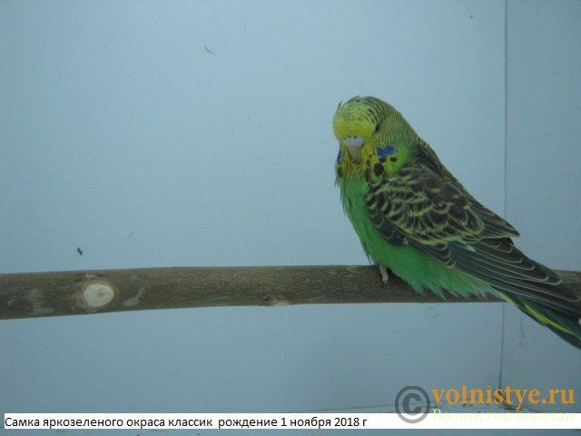 Волнистые попугаи выставочного типа молодежь Москва - IMG_2051.JPG