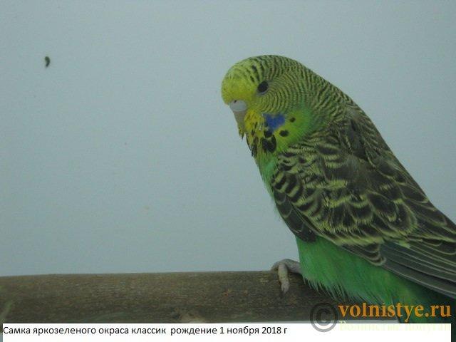 Волнистые попугаи выставочного типа молодежь Москва - IMG_2053.JPG
