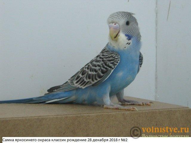 Волнистые молоденькие попугайчики для разговора - IMG_2359.JPG