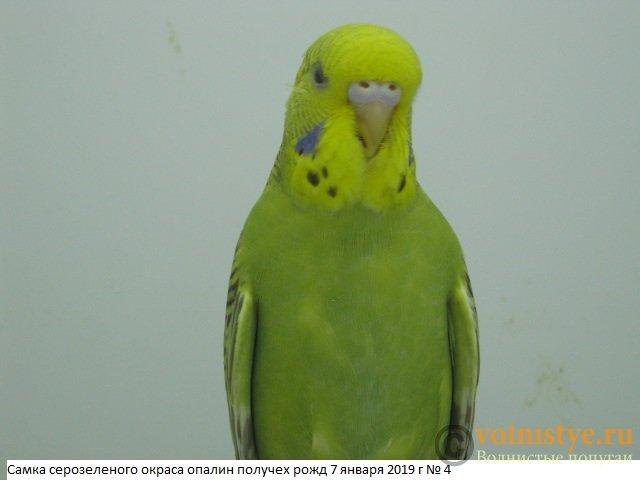 Волнистые молоденькие попугайчики для разговора - IMG_2315.JPG