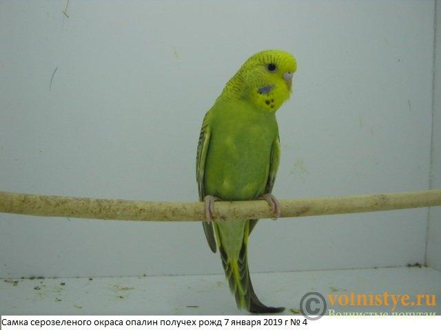 Волнистые молоденькие попугайчики для разговора - IMG_2313.JPG