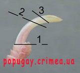 Место среза когтя попугая - 2977037.jpg