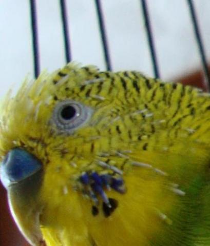 Линька у попугая. - 1.jpg