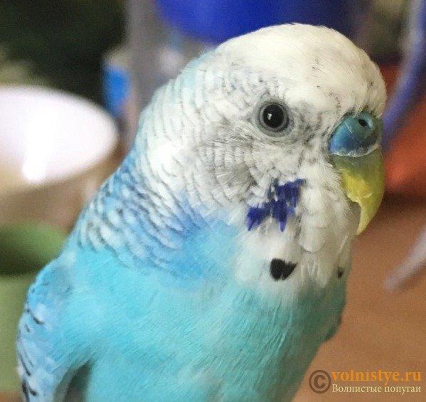 перья немного ободраны(видно по синему пятнышку) - x2rbcCJKzvw.jpg
