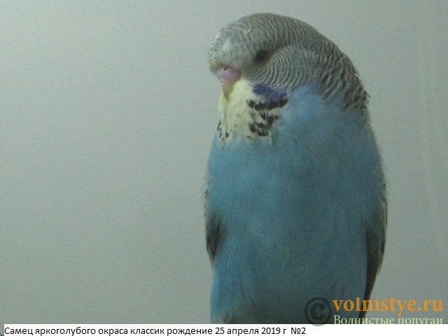 Волнистые попугаи выставочного типа молодежь Москва - IMG_3067.JPG