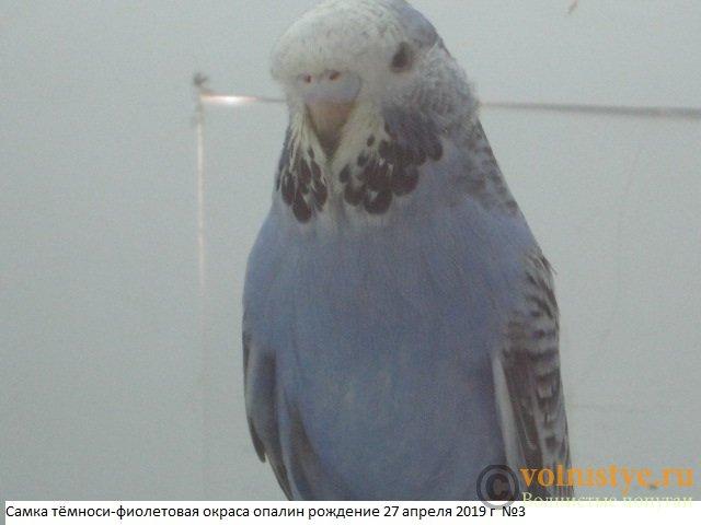 Волнистые попугаи выставочного типа молодежь Москва - IMG_3072.JPG
