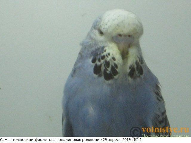 Волнистые попугаи выставочного типа молодежь Москва - IMG_3087.JPG