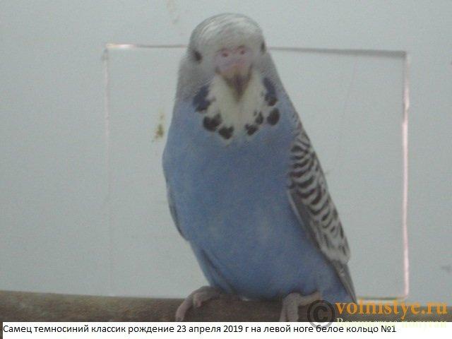 Волнистые попугаи выставочного типа молодежь Москва - IMG_3054.JPG