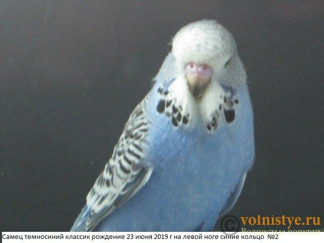 Волнистые попугаи выставочного типа молодежь Москва - IMG_3300.JPG
