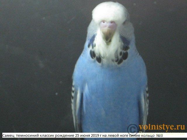 Волнистые попугаи выставочного типа молодежь Москва - IMG_3306.JPG