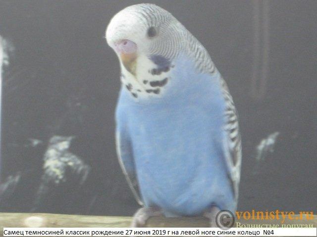 Волнистые попугаи выставочного типа молодежь Москва - IMG_3309.JPG