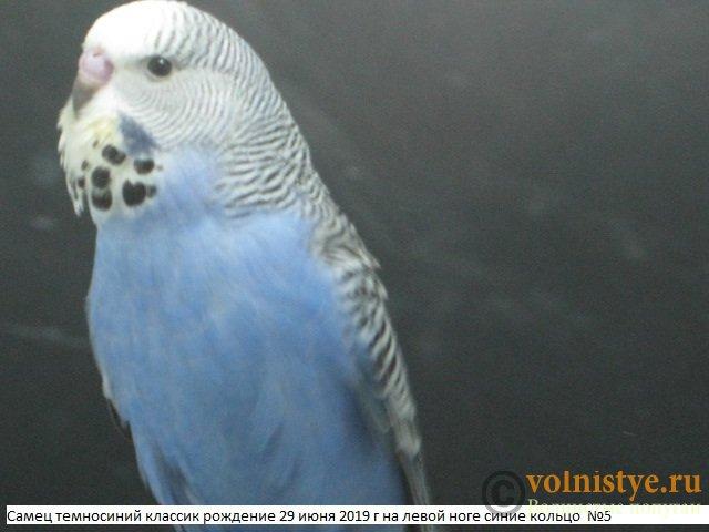 Волнистые попугаи выставочного типа молодежь Москва - IMG_3320.JPG