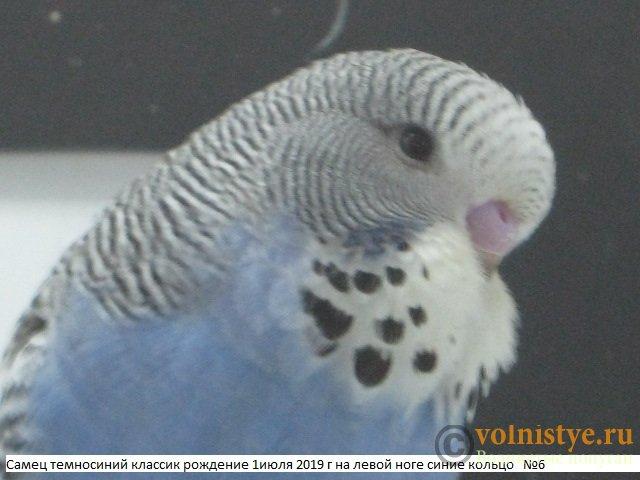 Волнистые попугаи выставочного типа молодежь Москва - IMG_3326.JPG