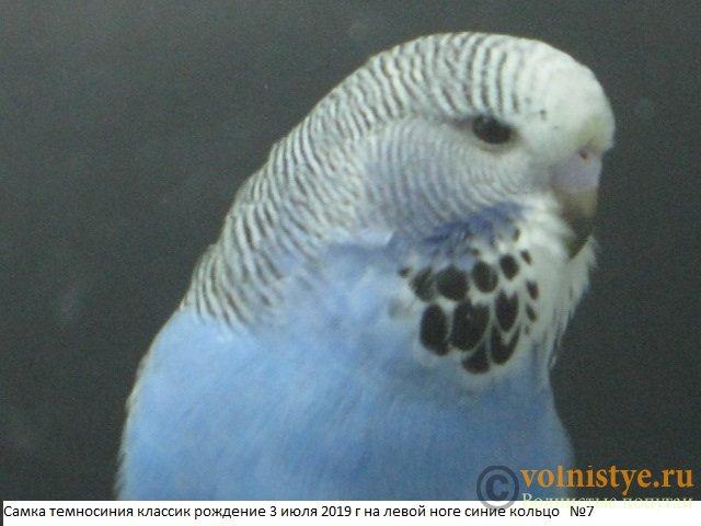 Волнистые попугаи выставочного типа молодежь Москва - IMG_3342.JPG
