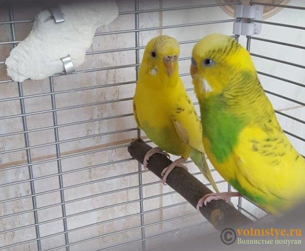 Пара волнистых попугаев - IMG-20190823-WA0004.jpg