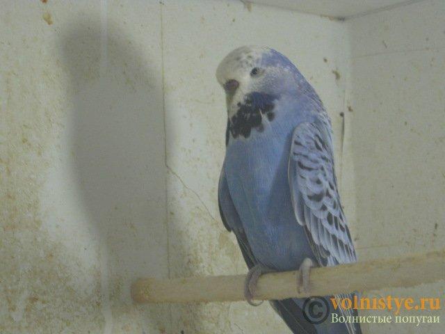 Волнистые попугаи выставочного типа молодежь Москва - IMG_3502.JPG