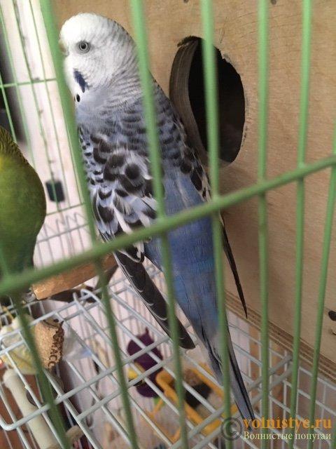 Какого окраса ваши попугаи и какого у них получились птенцы? - image2.jpeg