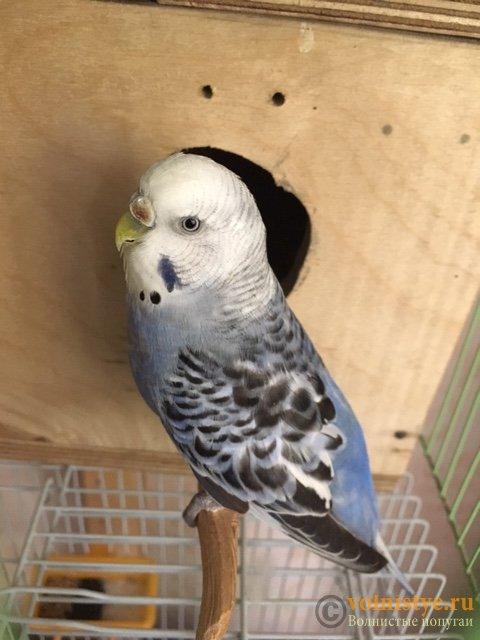 Какого окраса ваши попугаи и какого у них получились птенцы? - image3.jpeg