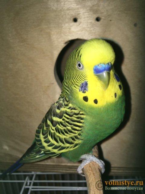 Какого окраса ваши попугаи и какого у них получились птенцы? - image5.jpeg
