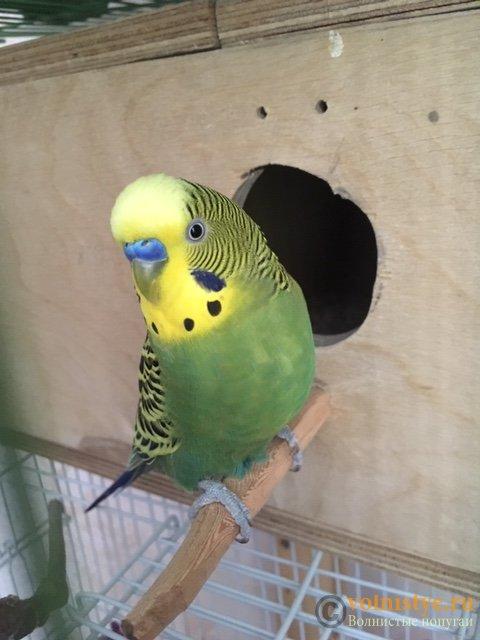 Какого окраса ваши попугаи и какого у них получились птенцы? - image4.jpeg