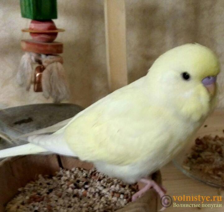 Какого окраса ваши попугаи и какого у них получились птенцы? - photo5444859758197714214 (1).jpg